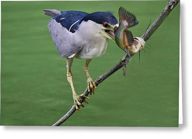 Black Crowned Night Heron With A Catfish Greeting Card by Paulette Thomas