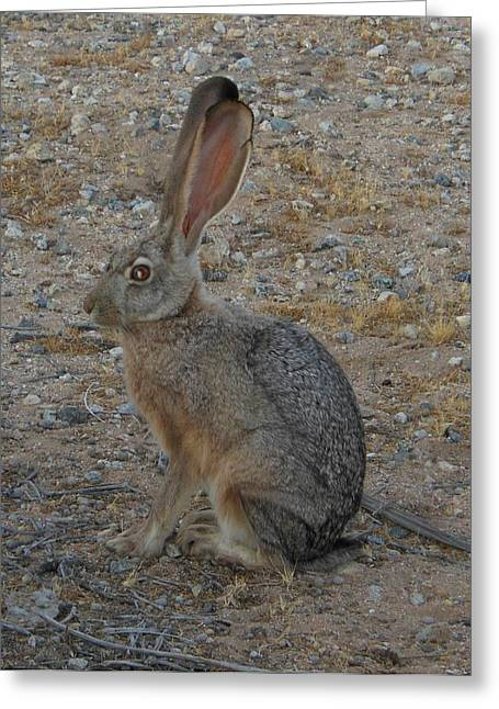 Black Eared Jack Rabbit Greeting Card