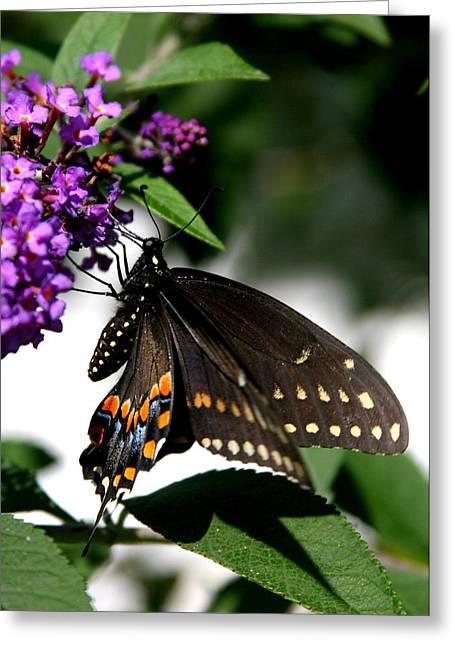 Black Eastern Swallowtail Greeting Card by Paula Tohline Calhoun
