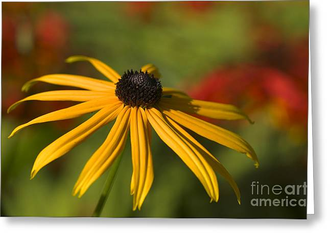 Black-eyed Susan 2 Greeting Card by Sharon Talson