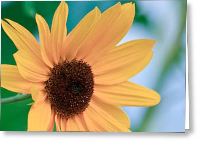 Black-eyed Susan Greeting Card by Ann Murphy