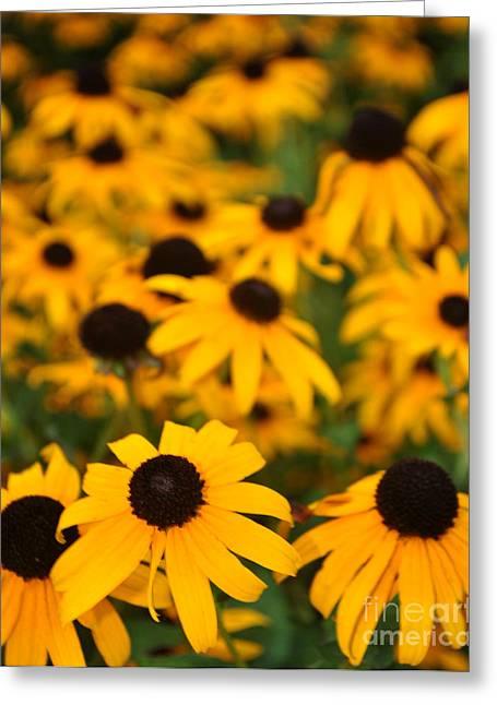 Black Eyed Susans Greeting Card by Catherine Jarret