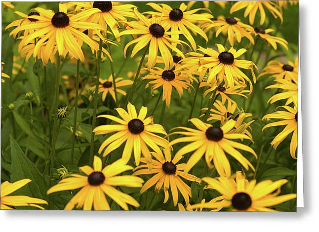Black-eyed Susans Greeting Card by Stanley French