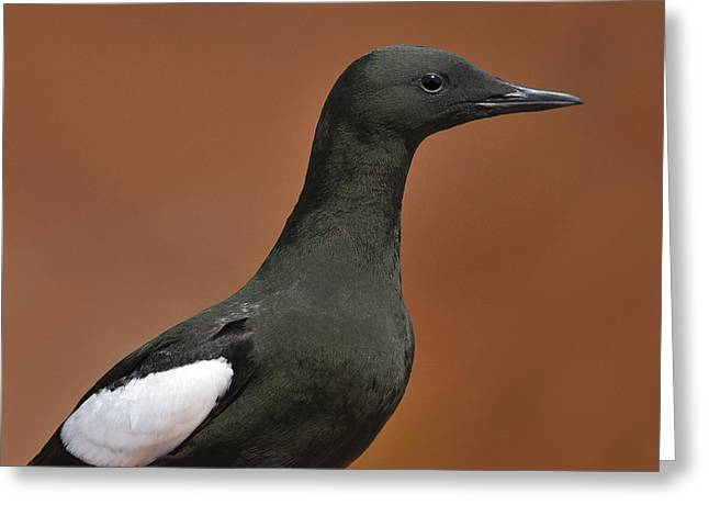 Black Guillemot Greeting Card by Tony Beck