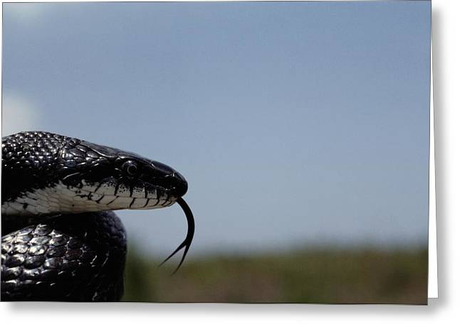 Black King Snake Lampropeltis Getulus Greeting Card by Medford Taylor