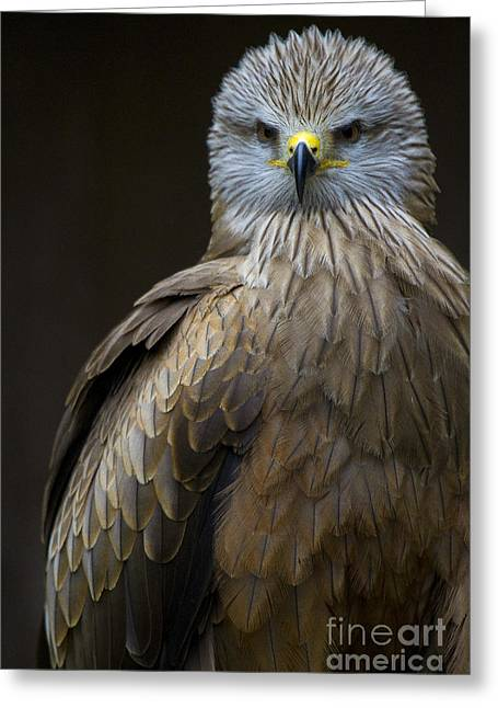 Black Kite 2 Greeting Card