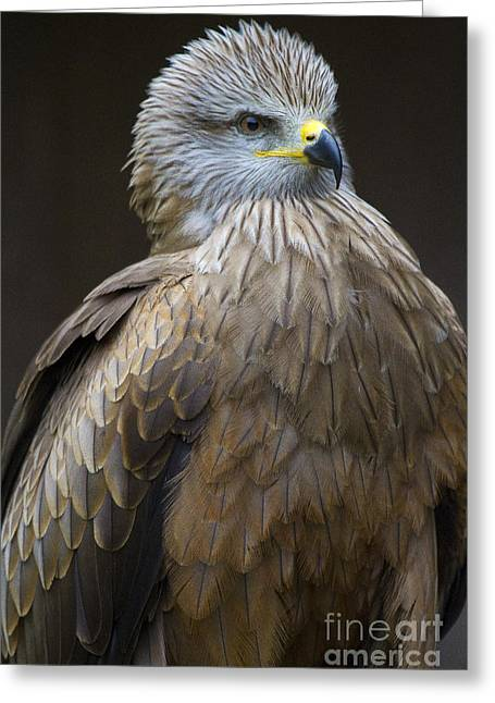 Black Kite 4 Greeting Card by Heiko Koehrer-Wagner