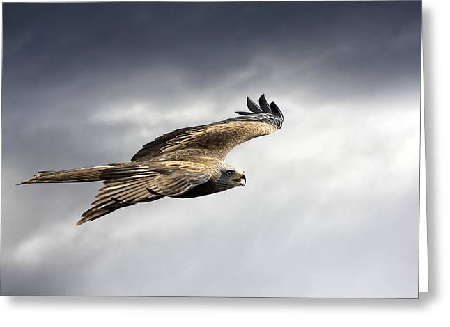 Black Kite In Flight Greeting Card