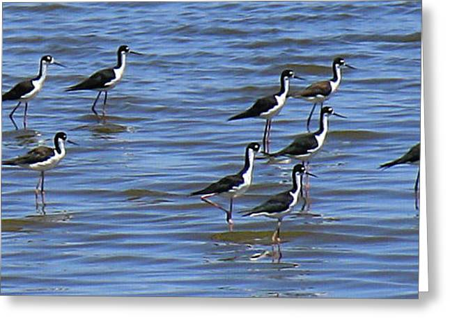 Greeting Card featuring the photograph Black-neck Stilt Dressed In Their Best by Roena King