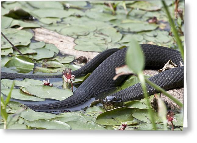 Snake In The Lillies Greeting Card by Jeannette Hunt