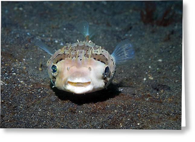 Black-spotted Porcupinefish Greeting Card by Georgette Douwma