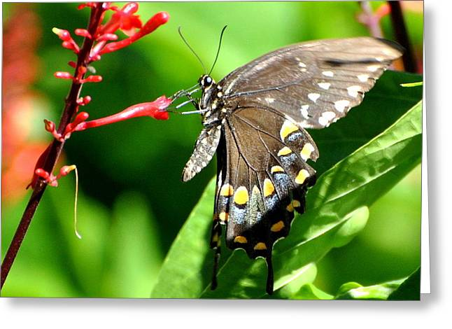 Black Swallow Tail Butterfly Greeting Card by Jodi Terracina