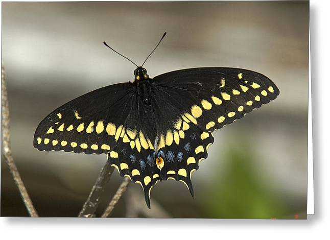 Black Swallowtail Din103 Greeting Card