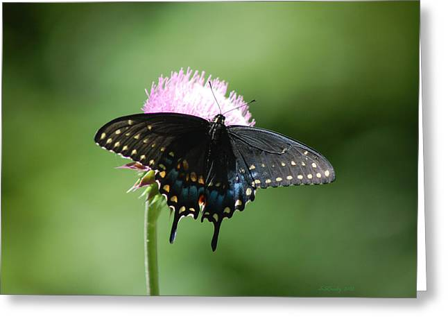 Black Swallowtail In Macro Greeting Card