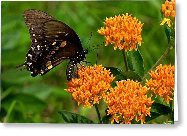 Black Swallowtail Visiting Butterfly Weed Din012 Greeting Card