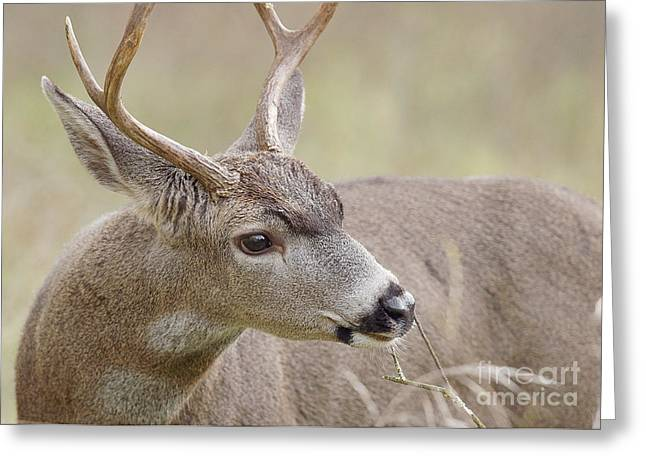 Greeting Card featuring the photograph Black-tailed Deer by Doug Herr