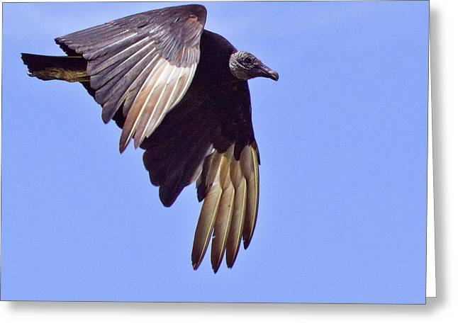 Black Vulture Greeting Card by Roger Wedegis