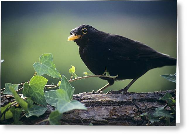 Blackbird Greeting Card by David Aubrey