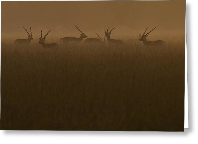 Blackbucks At Sunrise Greeting Card by Pramod Bansode