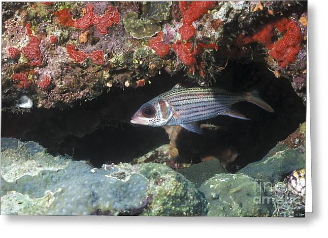 Blackfin Squirrelfish Swimming Greeting Card by Michael Wood