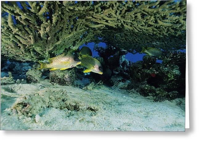 Blackspotted Sweetlips Fish Greeting Card