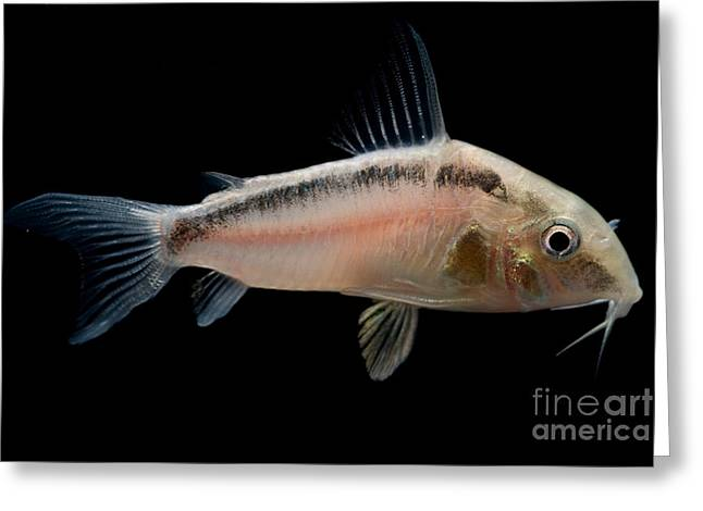 Blacktop Corydoras Greeting Card by Dant� Fenolio
