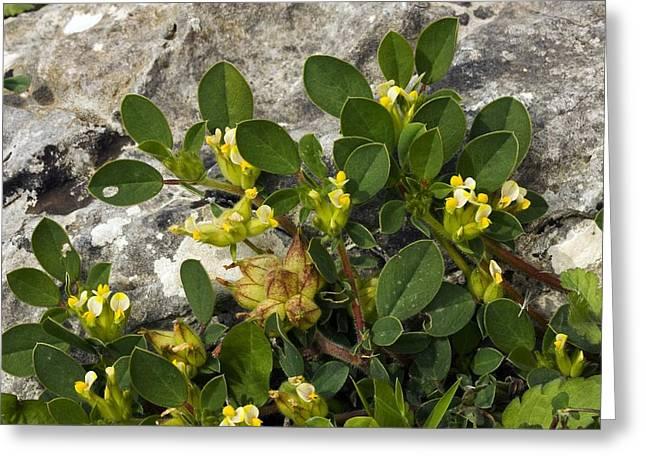 Bladder Vetch (anthyllis Tetraphylla) Greeting Card