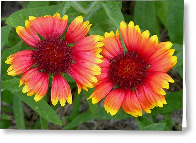 Blanket Flowers Greeting Card by Judy Wanamaker