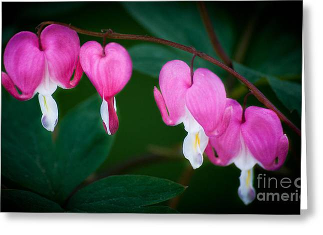 Greeting Card featuring the photograph Bleeding Hearts 002 by Larry Carr