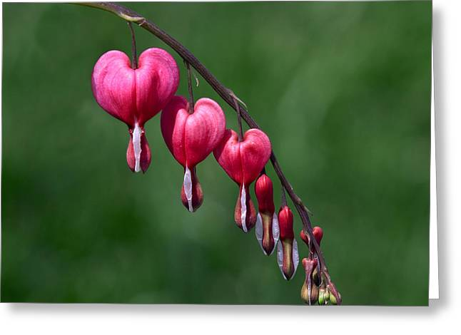 Greeting Card featuring the photograph Bleeding Hearts 2 by David Lester
