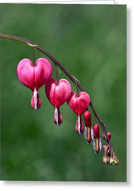 Greeting Card featuring the photograph Bleeding Hearts by David Lester