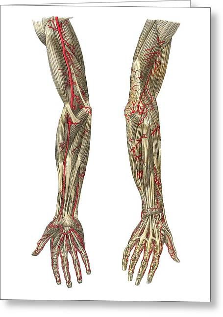 Blood Vessels Of The Arms, Artwork Greeting Card by Mehau Kulyk