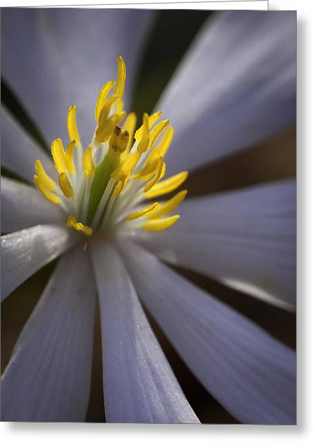 Bloodroot In Sunbeam Greeting Card by Rob Travis
