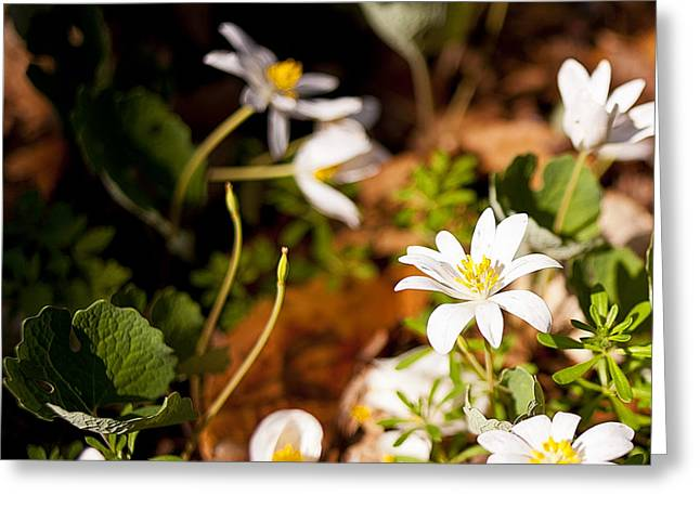 Bloodroot And Spring In The Woodland Greeting Card by Lee Craig