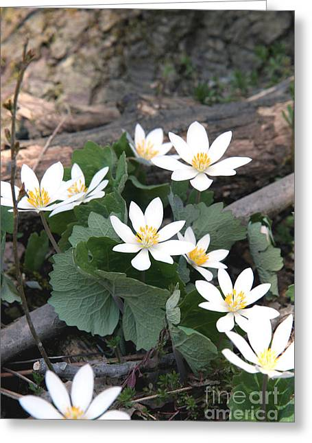 Bloodroot Greeting Card by Ted Kinsman