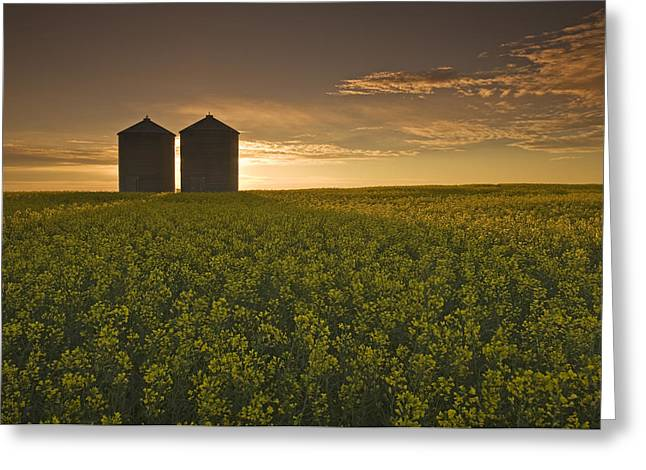 Bloom Stage Canola Field With Grain Greeting Card by Dave Reede