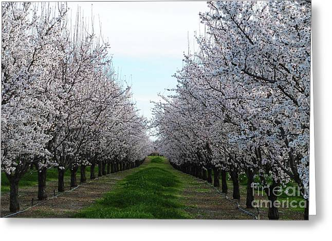 Blooming Orchard Greeting Card