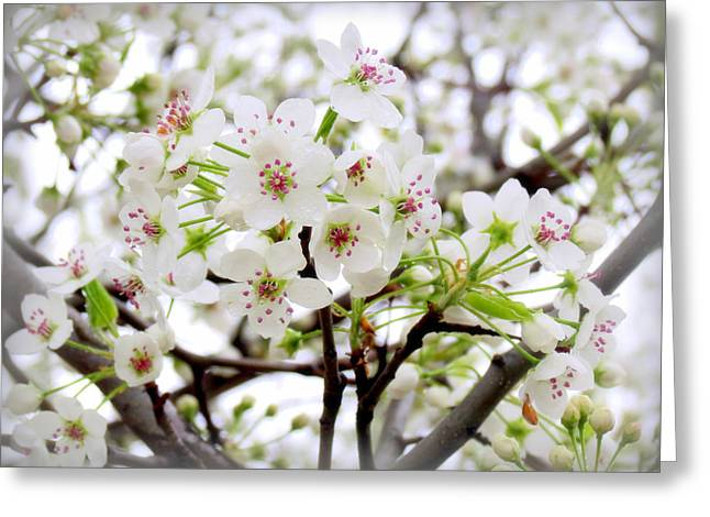 Greeting Card featuring the photograph Blooming Ornamental Tree by Kay Novy