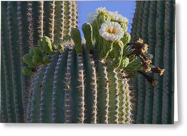 Blooming Saguaro   Sonora Desert Greeting Card by Nathan Mccreery