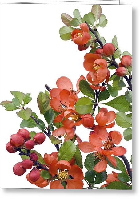 Greeting Card featuring the photograph Blossoming Japanese Quince Chaenomeles by Aleksandr Volkov