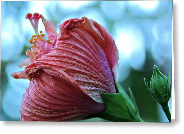 Blossoming Pink Hibiscus Flower Greeting Card by Karon Melillo DeVega