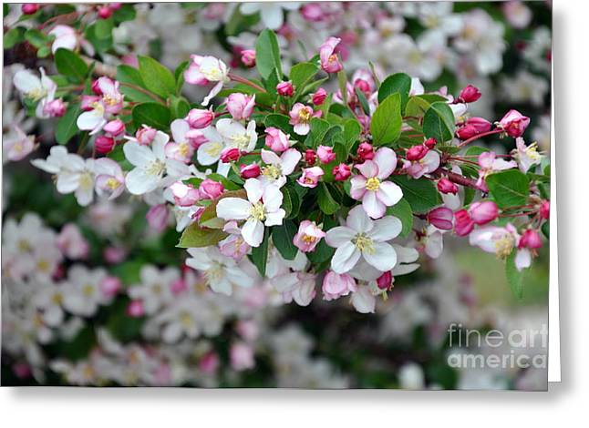 Blossoms On Blossoms Greeting Card