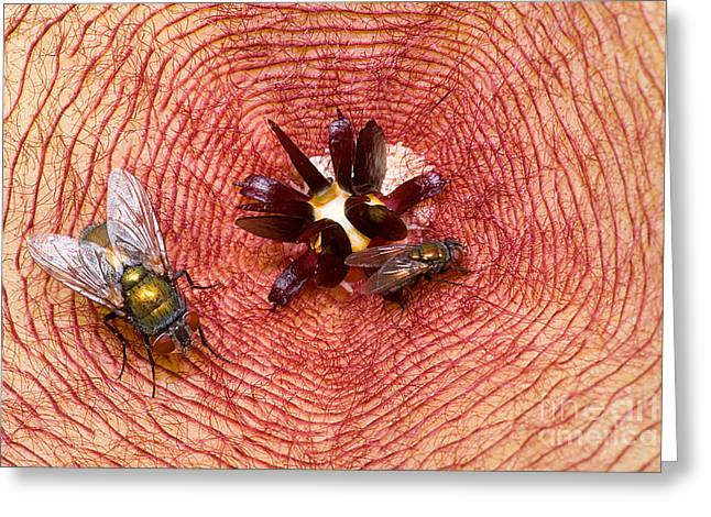 Blowflies On Stapelia Greeting Card by Dant� Fenolio