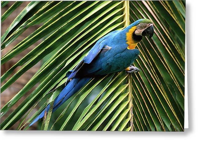 Blue And Yellow Macaw Ara Ararauna Greeting Card by Pete Oxford