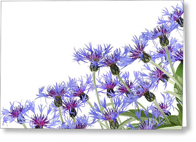 Greeting Card featuring the photograph Blue Cornflowers Postcard by Aleksandr Volkov