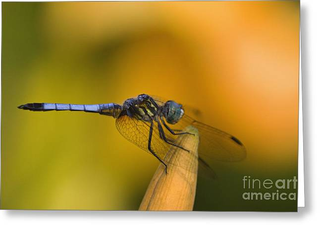 Blue Dasher - D007665 Greeting Card by Daniel Dempster