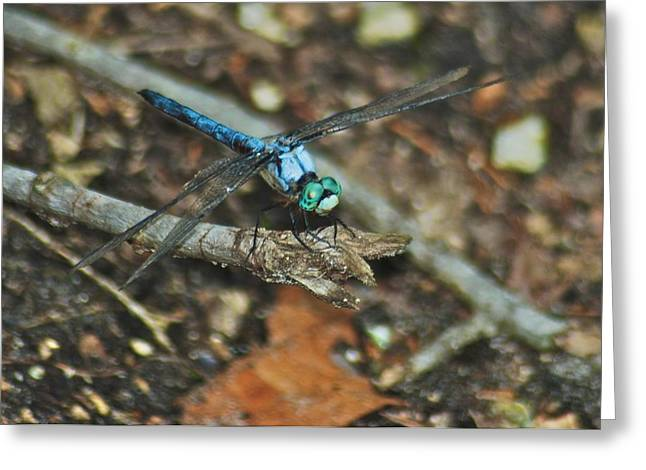 Blue Dasher 8658 3287 Greeting Card by Michael Peychich