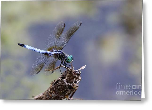 Blue Dasher Dragonfly Greeting Card by Chris Hill
