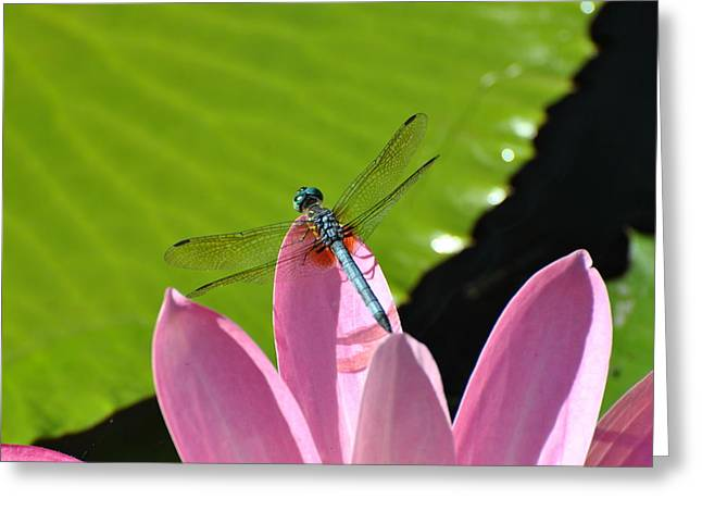 Greeting Card featuring the photograph Blue Dragonfly On Pink Water Lilly by Jodi Terracina