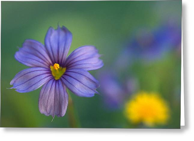 Blue Eyed Grass Greeting Card by Kathy Yates